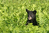 Bear cub in ferns