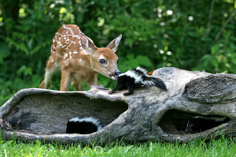 Fawn and skunks