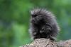 Porcupine (juvenile)
