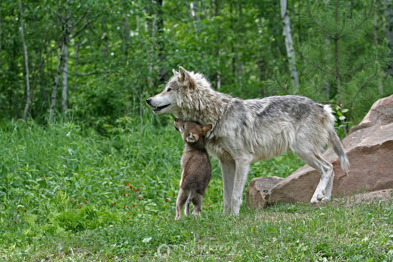 Male wolf with pup