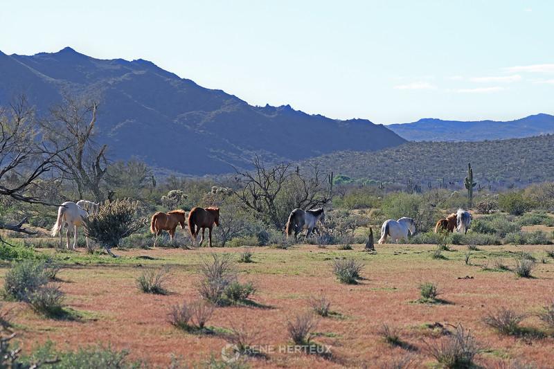 Wild horses of Arizona