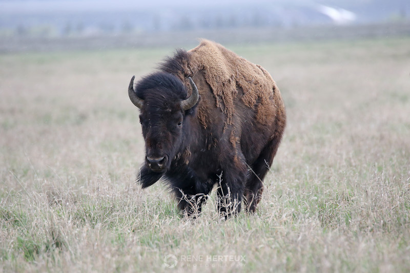 Wind swept bison