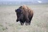 Wind swept bison