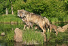 Male wolf with pups