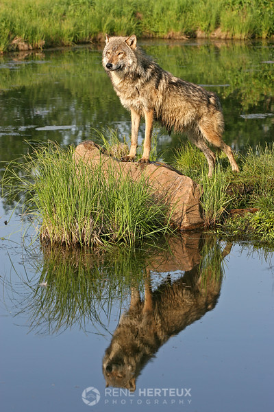 Wolf with reflection