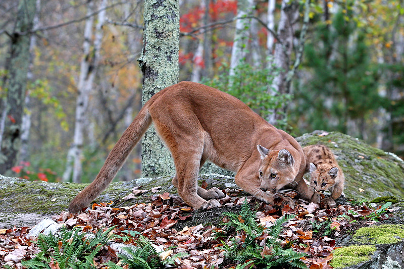Mountain Lion and baby
