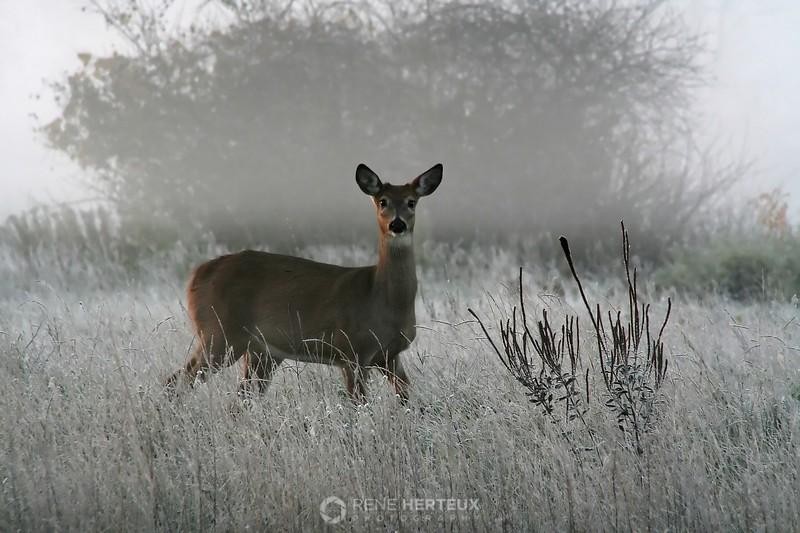 Frosty morning deer