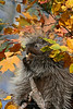 Porcupine in fall colors