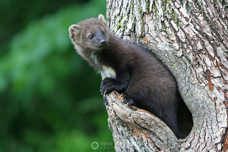 Fisher in tree cavity