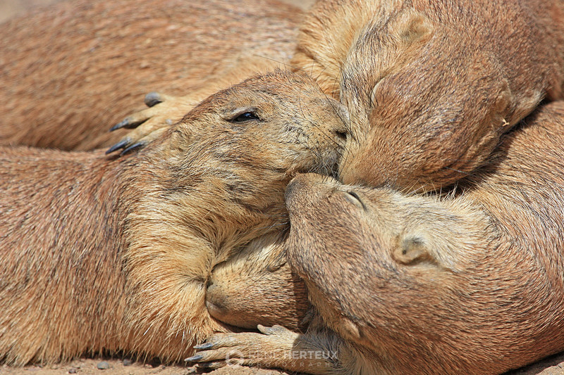 A mess of prairie dogs