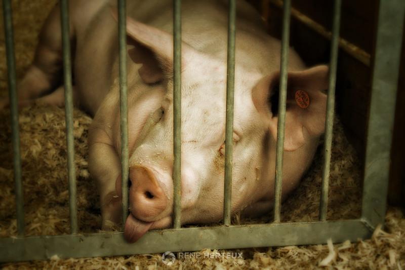 Sleepy pig