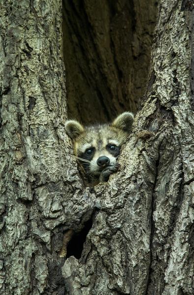 Raccoon in a Cavity Ottawa, Ontario