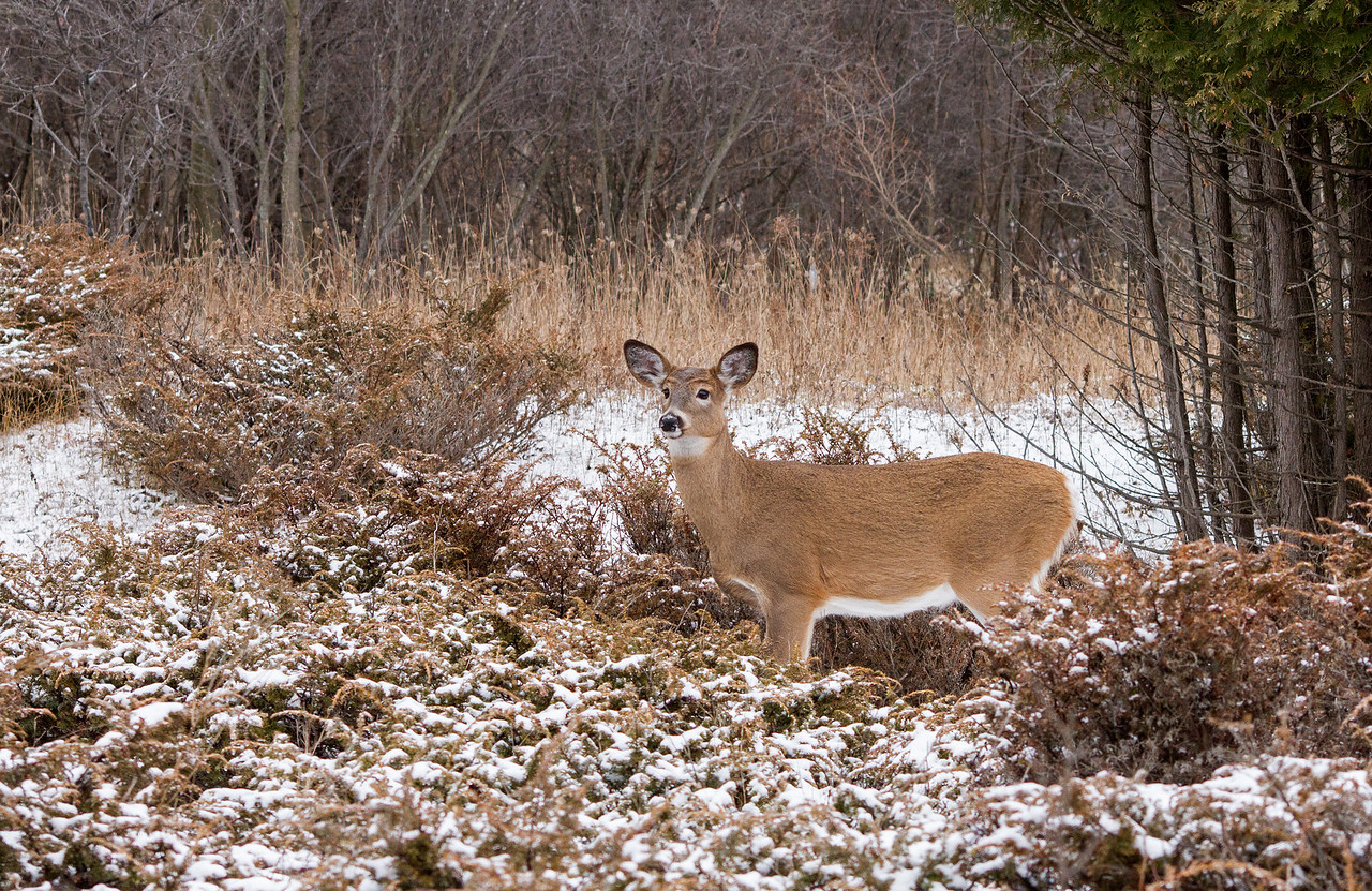 White-tailed Deer in Snowy Landscape (Doe)