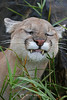 Cougar chomping down on a blade of grass