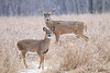 Buck with yearling