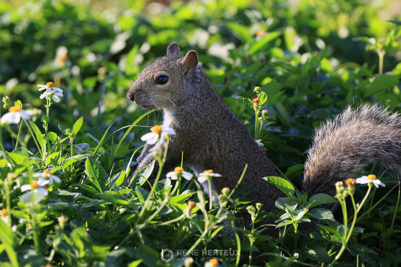Squirrel in morning flowers