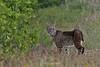 Sanibel bobcat
