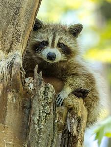 Raccoon Ottawa, Ontario