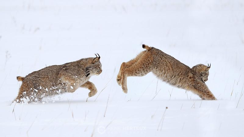 Lynx pounce