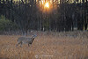 White tailed deer in sunrise