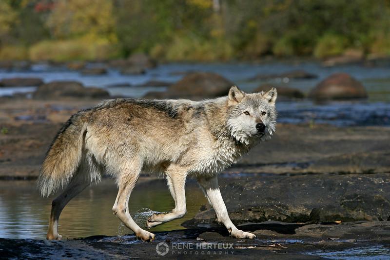 Wolf at stream