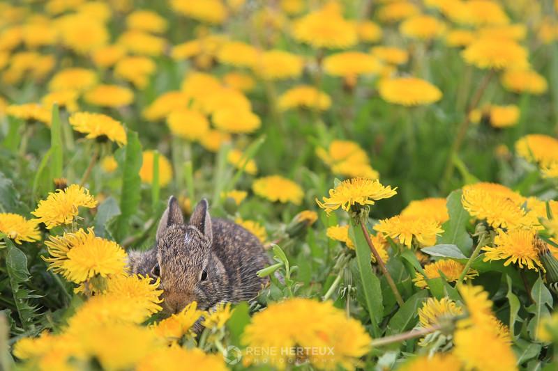 Bunny in dandelion