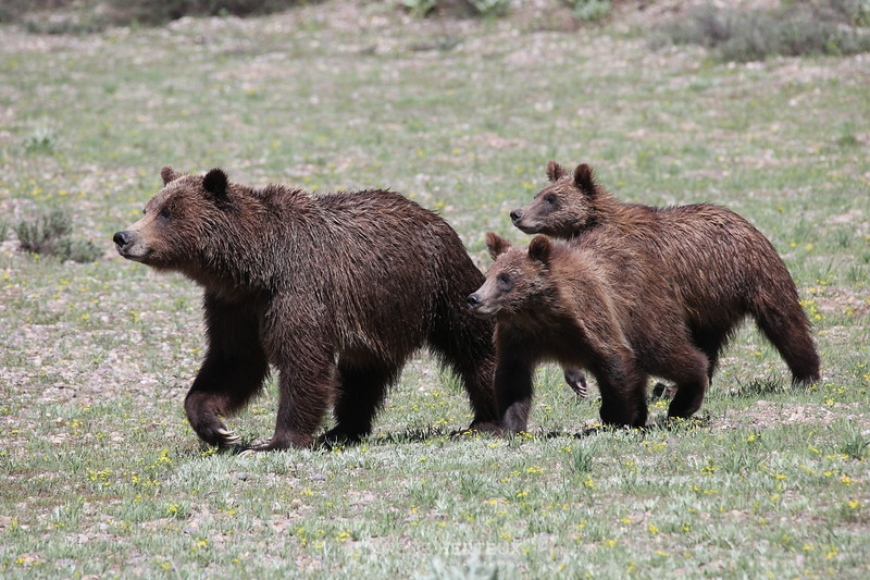 Teton grizzly with cubs
