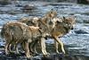 Juvenile wolves