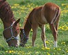 Horse and foal in dandelions