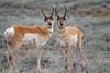 Bryce antelope