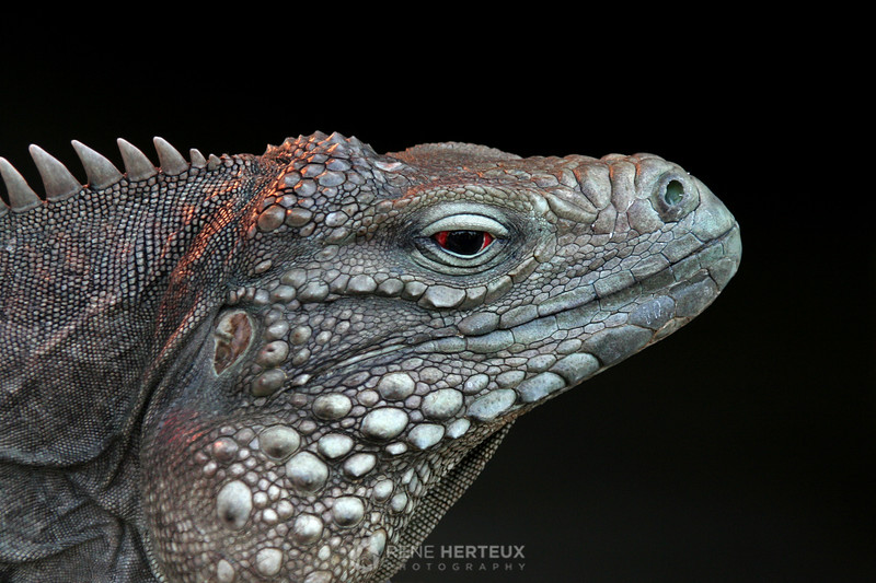 Iguana mia