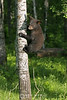 Bear cub in tree