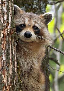Raccoon Up a Tree Ottawa, Ontario