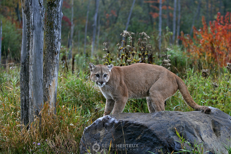 Cougar in fall colors