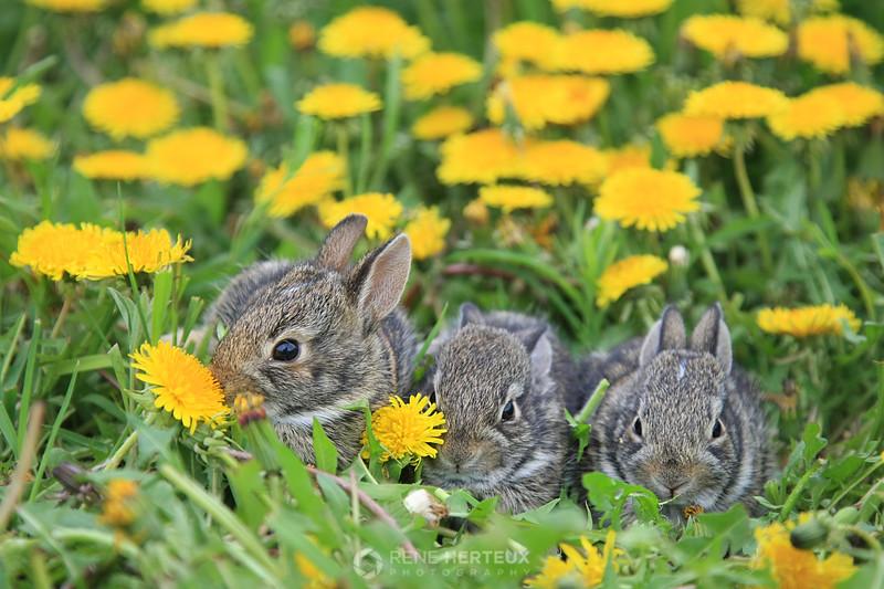 Bunny rabbits in dandelion
