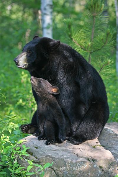 Mama bear with cub
