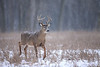 White tailed deer in the snow