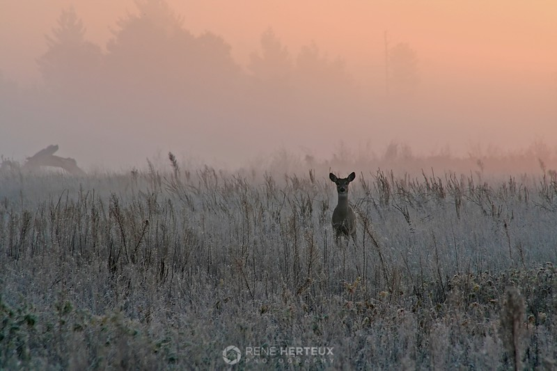 Frosty sunrise deer