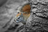 Red squirrel in log