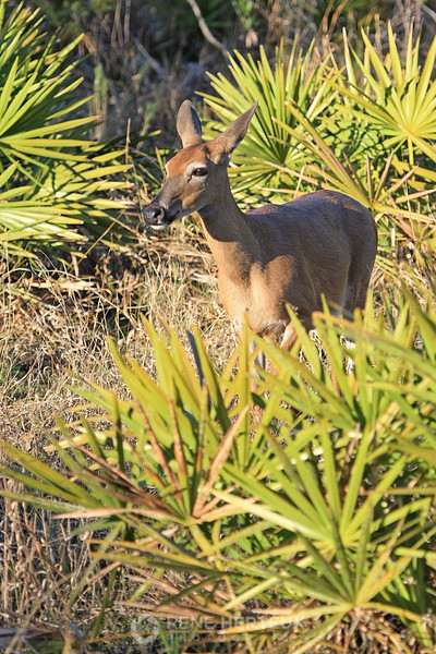 Deer in saw palmetto