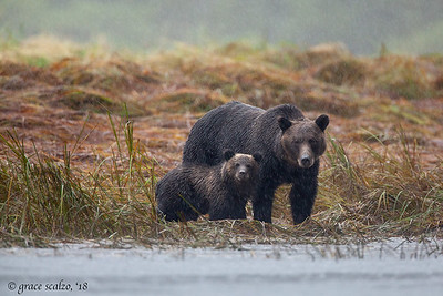 Grizzley Bear Cub and Mum in the Rain