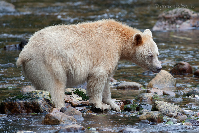 Spirit Bear looking for fish