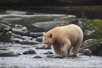 Spirit Bear fishing
