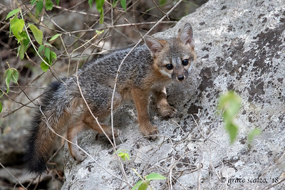 Gray fox kit