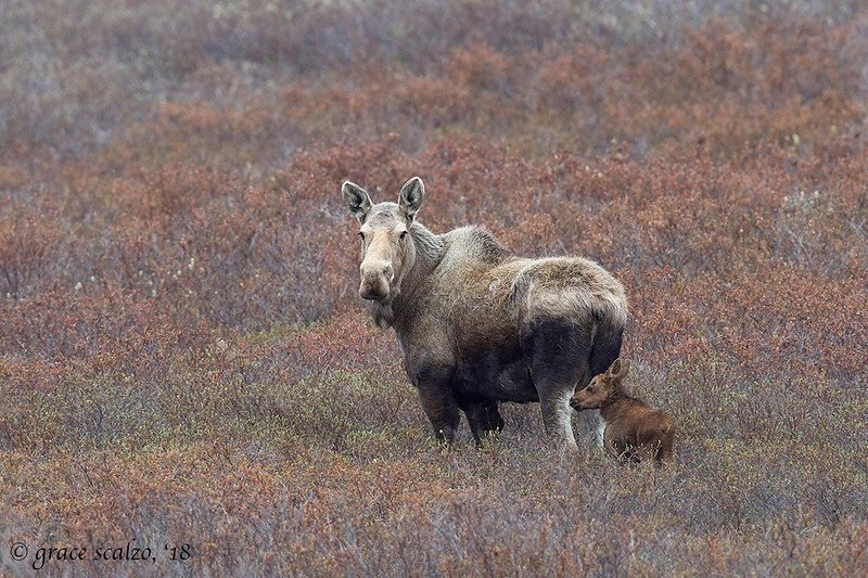 Moose and tiny calf in willows