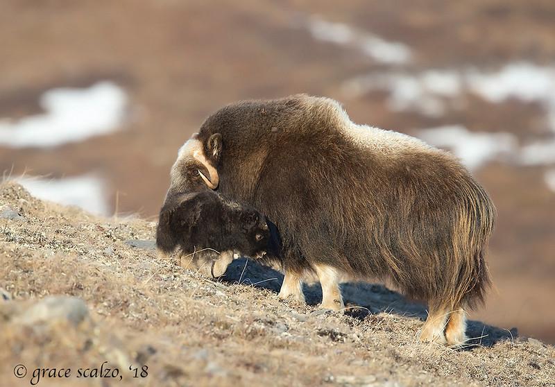 Musk ox and calf