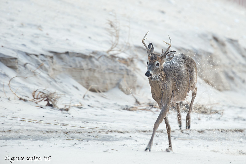 White-tailed deer shaking off after winter swim