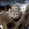 Bobcat III