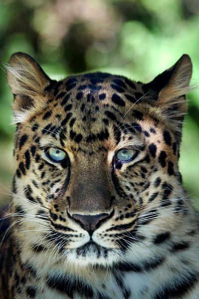 Amur Leopard _MG_3580