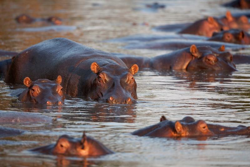 Hippos 6991